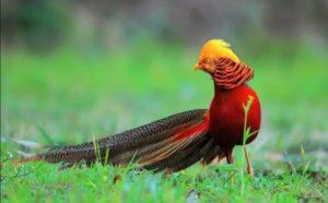 Ayam pegar emas